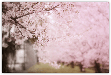 DropShadow ~ Cherry Blossomsth  mini
